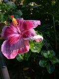 Hawaiischer Hibiscus lizenzfreie stockfotos