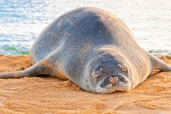 Hawaiischer Mönch Seal steht auf Strand bei Sonnenuntergang in Kauai, Hawaii still Lizenzfreie Stockfotos
