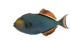 Hawaiischer schwarzer Triggerfish Lizenzfreie Stockfotos