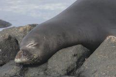 Hawaiisches Mönch-Seal Neomonachus-schauinslandi Stockfoto