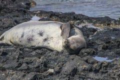 Hawaiisches Mönch-Seal Neomonachus-schauinslandi Stockbild