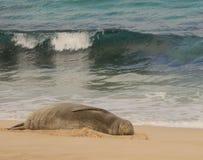 Hawaiisches Mönchs-Robbenschlafen Lizenzfreie Stockfotos