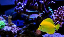 Hawajczyk rybia Żółta blaszecznica - Zebrasoma flavescens fotografia royalty free
