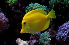 Hawajczyk rybia Żółta blaszecznica - Zebrasoma flavescens fotografia stock