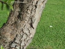 Hawaje liziard na drzewie Obraz Stock