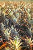 Hawaje owoc Ananasowy pole Obraz Royalty Free