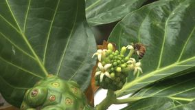 Hawaje pszczoła na tropikalnym drzewnym kwiacie zbiory wideo
