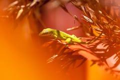Hawajska jaszczurka Zdjęcia Stock