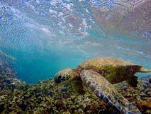 Hawajski Dennego żółwia Pływać Podwodny Zdjęcia Royalty Free