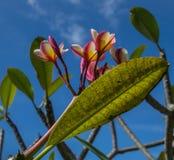 Hawajski Storczykowy Sunning pod niebieskim niebem Obrazy Stock