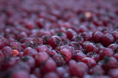 Hawberry Stock Images