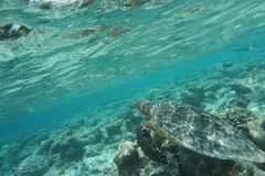 Hawcksbill海龟玳瑁imbricata 免版税库存图片