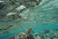 Hawcksbill sea turtle Eretmochelys imbricata royalty free stock photography