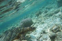 Hawcksbill sea turtle Eretmochelys imbricata stock photo