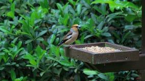 Hawfinch в лесе De Veluwe, Нидерландов Стоковое Изображение RF