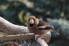 Hawfinch Photos stock