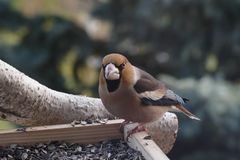 Hawfinch Photo stock