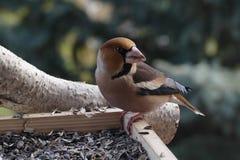 Hawfinch Images libres de droits