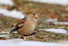 Hawfinch Immagini Stock