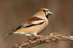 hawfinch Royaltyfri Bild