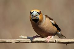 hawfinch Royaltyfri Foto