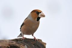 hawfinch Στοκ εικόνες με δικαίωμα ελεύθερης χρήσης