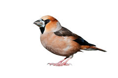 Hawfinch Image stock