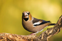 Hawfinch Photos libres de droits