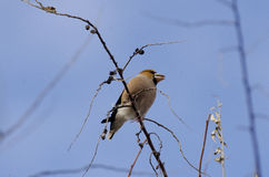 Hawfinch. On   branch (coccothraustes coccothraustes Royalty Free Stock Photography