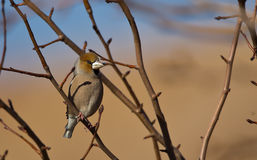 Hawfinch. Is perching on a tree branch royalty free stock image