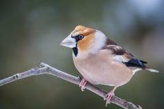 Hawfinch Στοκ Φωτογραφίες