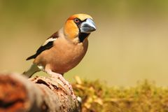 Hawfinch stock fotografie