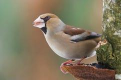 Hawfinch Royalty-vrije Stock Fotografie