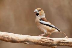 Hawfinch Στοκ Εικόνα