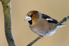 Hawfinch Stockbilder