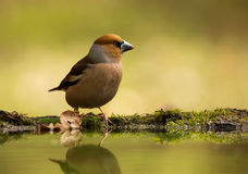 Hawfinch Photographie stock