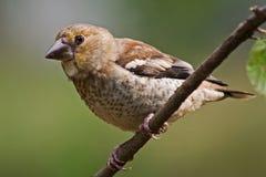 Hawfinch Foto de archivo