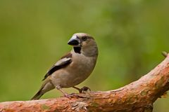 Hawfinch Stock Image