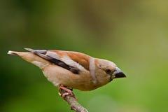Hawfinch fotografia stock