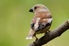 Hawfinch Royalty Free Stock Photo