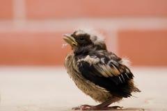 Hawfinch Imagen de archivo