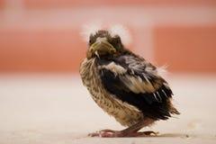 Hawfinch Photo libre de droits