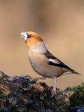 Hawfinch stock afbeeldingen