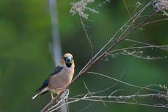 Hawfinch стоковое изображение rf