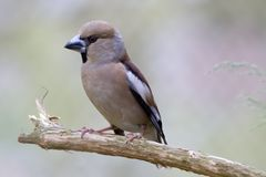 The Hawfinch Royalty Free Stock Photo