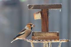 Hawfinch all'alimentatore immagini stock libere da diritti