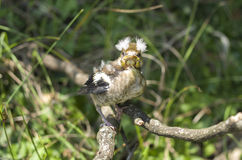 Hawfinch baby on branch Royalty Free Stock Photos