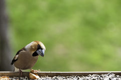 Hawfinch bird Royalty Free Stock Photo