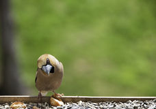 Hawfinch bird Royalty Free Stock Photography