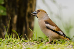 Hawfinch bird sitting Royalty Free Stock Photos